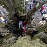 El árbol más viejo de la Comunidad de Madrid